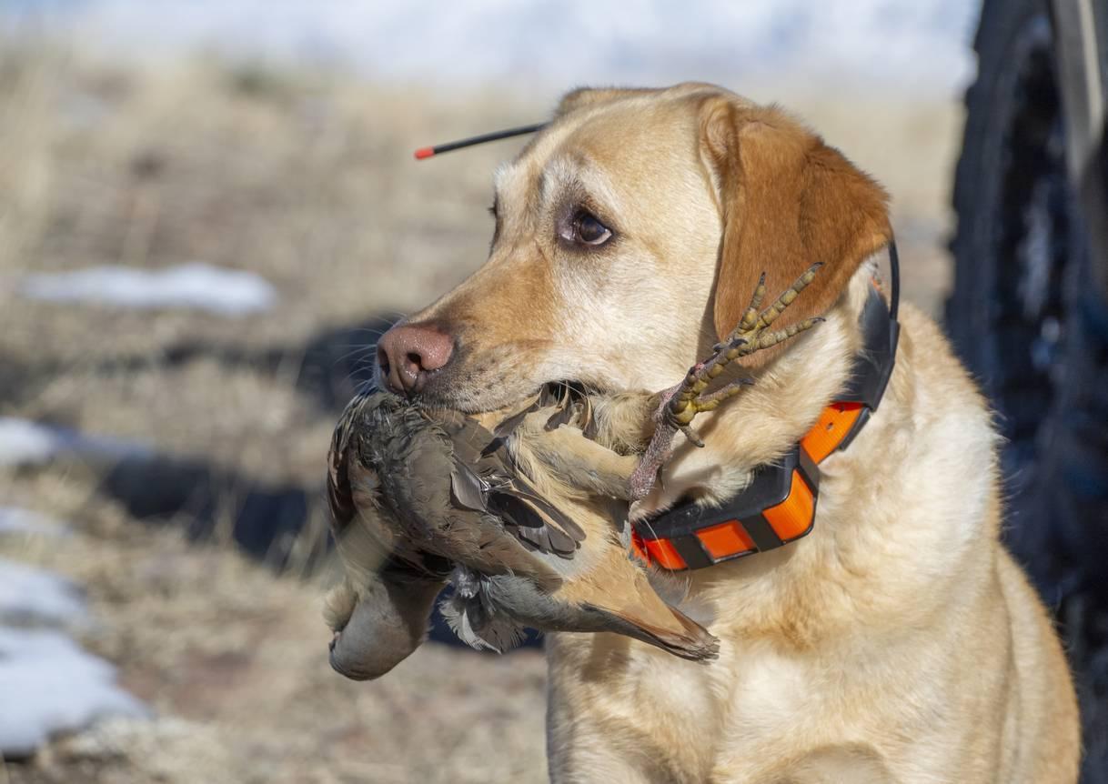 colliers pour chien de chasse